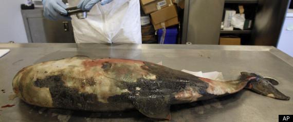 Dolphin Deaths Gulf Investigation