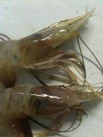 Gulf Coast EYELESS Shrimp Anyone?